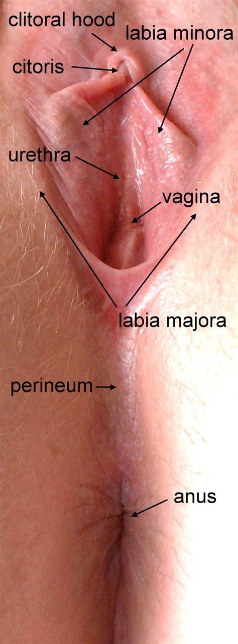 diagram of a womens pussy jpg 714x1929